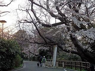 2016/ 3/30 江波山の桜